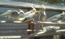 Baby Cockatiels Male and Female also Adult, $30.00 and Up $00.00. For information call 619-922-2373, Thank you