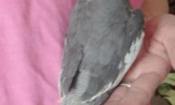 2 beautiful just recently weaned Cockatiel babies looking for great homes. They have been weaned to a diet of Tiel seed, fresh veggies and fruits and grains. The babies have been handled daily since one week of age and are very people friendly. I am