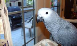 We have a congo African grey baby available, just weaned very sweet and playful. Contact us at CountryBirdsAviary.com or call 812-366-0300, you can text me at 832-277-4270