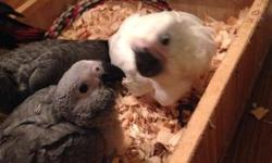 Baby Congo African Grey Available! This baby should be weaned in 4-6 weeks. We can ship for $125. Northeast PA 18058. Any questions please feel free to contact me. Thank You! https://www.facebook.com/PoconoAna?ref_type=bookmark