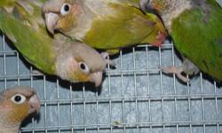 LARGE SELECTION BABY CONURES... PINEAPPLES, GREEN CHEEKS, YELLOW SIDED, CINNAMON PINEAPPLES.. ALL ON SALE STARTING AT $75.00 ALL HAND FED HEALTH GUARANTEED ALL CREDIT CARDS ACCEPTED CALL TODAY 954-791-3720 OPEN EVERY DAY TILL 8:P.M.