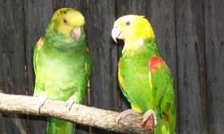 WILL WEAN OUT FOR $750. EACH. That is the best deal you will find around here. Baby Double yellow-headed amazons. The parents are beautiful and healthy. When not in nesting mode, they are allowed to sit on perches aside my other birds. They intereact with