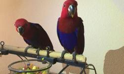 Pick up ONLY - Austin, TX :) I have 2 baby female eclectus parrots (9 weeks old) and 1 baby male eclectus parrot (5 months old) ready for a new home. Females are Red in color and Males are Green. They all are eating on their own now (not being hand-fed