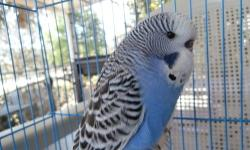 Hand-fed male & female pure bred English budgies, $39.00 each. Very tame, beautiful colors and wing patterns. Some are ready to go home with you now. More babies available in 2-3 weeks. Call for an appointment to see and reserve your English budgie. Call
