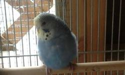 I have baby english budgies for sale. 20.00 each. Yellow faced blues and regular white faced blues. A few ready now and others will be ready in a couple of weeks . Thanks