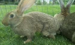 I have Flemish Giants for sale. I have two sandy males that need a new home. They have pedigrees and are very nice and adorable. They both are handled each day by kids, and would make wonderful pets. They are eight weeks old and are the Great Danes of the