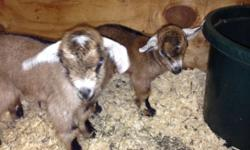 Adorable baby goats. Dwarfs and Nubian x. 5 castrated males available. Will be ready after March 1st.