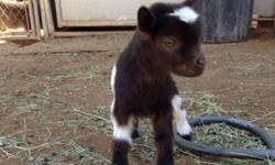 Taking deposits now on these adorable babies. Pygmy/Nigerian dwarf cross. Will have shots & be dewormed, can de horn & castrate if wanted. Males & females available. They are great pets & milking goats but are not for food. To good homes only.