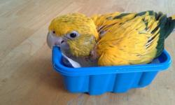 Golden Conure babies. 5 available. Almost weaned, 1 feeding per day or deposit until weaned. Rare, Sweet, Smart, Playful. These birds are amazing in character as they are beautiful. Sales outside of Minnesota require a CBW Permit. Minnesota sales no