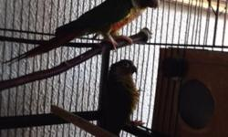 I have a 3 month old Green Cheek Conure for sale price includes Kings cage and cover. Very sweet and loving. Trained to step up, Shake hands and turn around.