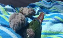 Baby green cheek conures,hand fed,make great pets!!!! Only two left...