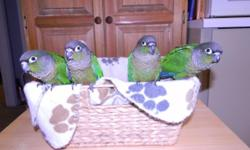 Baby Greencheeks Conures still being handfed. Normal colored. Almost weaned. Will be weaned on pellets and nutriberrie seeds. Very friendly, sweet, curious and playful..150.00 each Should be ready for their new home in two weeks. Thanks