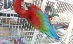 Hi im selling my baby 6 month old green wing macaw super tame and Loveing he says hello, and hi baby he was hand since he was 2 weeks old ready for a new permanent home and a great Christmas Gift Also open for trades preferred eclectus male, rose breasted