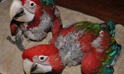 Hand fed, closed banded, DNA sexed female Green Wing Macaws for sale from private breeder with great reputation. Two babies available. Beautiful, sweet birds. I will finish weening them for you. Hatch dates 9/26 and 9/29 2012. Please call 619-518-5140 for