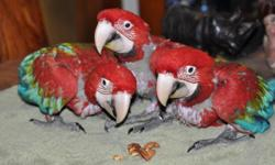 I have two beautiful and sweet baby Green Wing Macaws. DNA sexed males. These birds are hand raised and closed banded. Their hatch dates were in early August and I am hand feeding them now. They are weened and ready for great homes. Please call