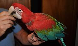 Hand fed, closed banded, DNA sexed female Green Wing Macaws for sale from private breeder with great reputation. Two babies available. Beautiful, sweet birds. Just weened and ready to go! Hatch dates 9/26 and 9/29 2012. Please call 619-518-5140 for more