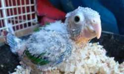 Baby green cheek conure, they are about 4 weeks old. It is a right time to take them out to handfeed and tame them. Cinnamon color $110, $150 yellowsised, $180 for pineapple. Please no email. Thanks