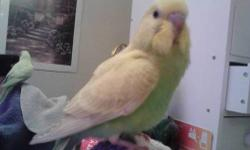 Hand fed, tame, 2 month old parakeets. Very sweet and ready to go to new homes. We have a total of 5 birds at $30 each.