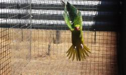 I have a baby Lutino Ringneck. I handfed it but has not handled it in a few months. Born in May 2014 Fully Feather no cage adoption fee $150 This is exactly what it looks like
