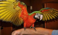 I have one gorgeous female Harlequin Macaw (Blue and Gold Macaw father and Green Wing Macaw mother). She is a sweetheart and a cuddler. She is hand raised, closed banded, DNA sexed. I am a private breeder with a great reputation and I will provide lots of