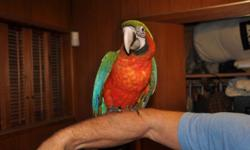 I have two Harlequin Macaws (hybrid between Green Wing and Blue and Gold Macaws) for sale. These are gorgeous, colorful and sweet birds. Always full of personality. All handraised and closed banded. One DNA sexed male and one DNA sexed female. These birds