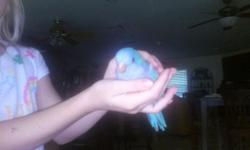 Very tame indian ringneck. On one feeding a day Bought from very good breeder. Not sure male or female. Geen split lutino/Turquoise very pretty. Comes with cage and all stuff asking 300 paid a lot more for all his stuff . Will just keep him before any low