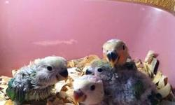 BABY LOVEBIRDS FOR SALE, 3 HAND FEEDINGS A DAY!!! MOTHER BLUE DAD YELLOW. IF YOU HAVE ANY QUESTIONS PLEASE DO NOT HESITATE TO CONTACT ME AT 786 382 5949 CALL/TEXT/EMAIL.THANKS