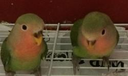 I have two baby peach faced lovebirds with green body. The birds are two to three months old. Gender is unknown. Asking price is $30 each. No shipping. Cage not included. If you are interested, please email me.
