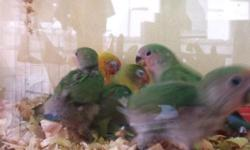 5-8 week old baby lovebirds are available ....sweet,....tame....beautiful.... txt 516 972-3860 $100-$120