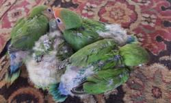 3 well handfed baby lovebirds that were from two lovebirds that were between a white ring eye fischer and a yellow Latino peachface face. The price is $60 for each baby. Please only serious buyers!!!