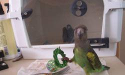 Sweet DNA sexed male meyers parrot. We call him Willy he is 7 months old (DOB 4-23-12) and a real sweet heart. Willy steps up and is always willing to hang out on a shoulder all day long if allowed :). He is beautiful and is starting to get a little more