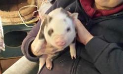Pinkalicious Pigs has two 3 week old spotted mini piglets available. Both are males. Piglets are old enough to eat formula out of a bottle or dish. Anticipated adult weight is 50-60 lb. These are a great size for acreages or homes with large yards.