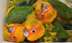 We have sun conures, jenday conures, gold cap conures and Nanday conures! All babies are $350 each. We ask for $100 to hold a baby until weaned. We can DNA for $25 if wanted and we ship for $125. This ad was posted with the eBay Classifieds mobile app.