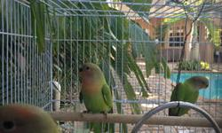 4 young Green Red-Head Opaline lovebirds for sale. they just started eating by themselves. The parents are: Female Green Orange-Head Opaline + Male Green Read-Head Opaline $75 each if interested please text 305-794-7401
