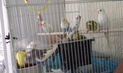 8 week old baby parakeets greens, olives, spangles