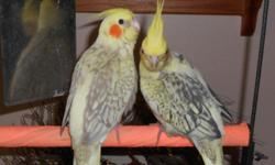 3 month old, they are friendly :) 1 males 3 females, rare color