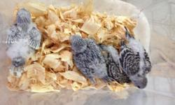 I have 4 baby parakeets that are on 3 feedings a day. They are 5 weeks old and tame. If interested email or call/ text 305-803-5008 This ad was posted with the eBay Classifieds mobile app.