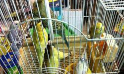 I have many parakeets that are eating on their own already. They are not tame and I have many to choose from and many difference colors. If interested email or call 305-803-5008