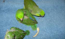 closed banded baby parrolets split to lutino and blue. father is lutino split blue and mom is green split blue