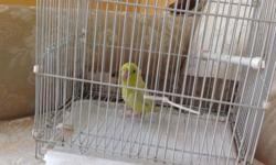 Parrotle male baby 3 months old. Please call if you are interesting