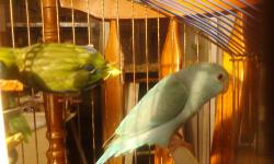 Taking deposits on baby parrotlets. Still hand feeding. Stop in and visit us at AJ's Feathered Friends Pet Shop in Elgin. 19N State Street Elgin, Il 60120 847-695-5624 This ad was posted with the eBay Classifieds mobile app.