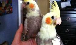 Baby parrotlets. They are tame, friendly and well socialized. These playful and inquisitive birds are great companions. They are very quiet and great for those who live in apartments. http://www.barbsbaystatebirds.com/ 508-987-3149