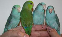 I have just weened baby parrotlets ready to go home. Friendly, tame and well socialized. I have blue, green and turquoise available. Call 508-987-3149 for more information and pricing. Or email [email removed] www.barbsbaystatebirds.com