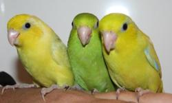 I have just weaned baby parrotlets. They are ready for new homes. They are friendly, hand tame and well socialized. They get handled daily. They are very quiet and make great pets. I have blue, green and Yellow available. Pick up only no shipping. The