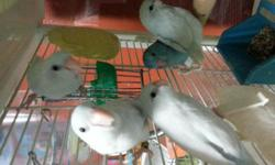 Beautiful hand fed baby parrotlets. Tamed with closed bands. 2-3 months old and eating on their own now. Nice pets to be trained now that they're young. Whites $125 and Blues $90. We can discuss price if you buy more than one. Must PICK UP! Serious