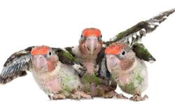 We offer hand raised parrots raised in our home for your home. Babies that are currently available include Umbrella, Sun Conure, Jenday Conure, Gold Cap Conure, Greenwing Macaw, White Bellied Caique, Senegal, Meyers, Eclectus. On Eggs - Congo Greys, Blue