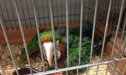I have many baby parrots available from bebes, kakarikis, ringnecks, suns and other conures, macaws, african grays. I'll be in East stroudsburg, PA for a week in the middle of May, so if you are interested in any, please contact me.