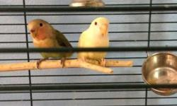 Two baby peach face lovebirds. Both are 3 months old. One is a normal green and the other a creamino. Both split to blue.They are wild (they can bite) but with consistent handling you may be able to tame them. Weaned to roudybush pellets. Green is $30