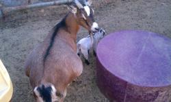 Two male baby pygmy goats. Born 10-29 and 10-31. Ready to ween 12-15. One brown and one gray. Cute and friendly. IF YOU WANT THEM DEHORNED additional fee of $30. Deposit requied by 11-11.