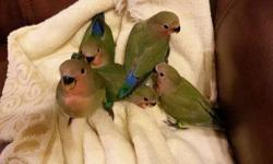 I have three baby quakers/monk parrots for sale . Two are green and one is got yellow and white flight feathers. They are hand fed and child friendly beautiful little birds. For more info contact me at 501-691-12 nine seven.